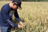 Produktivitas menurun, Distanak Sultra ajak petani kembali gunakan pupuk organik