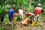 Sapi milik warga Agam diduga dimangsa harimau Sumatera