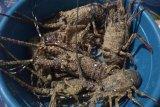 Nelayan Lebak diminta  budidayakan lobster