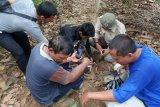 BKSDA: Lokasi ternak warga Agam dimangsa harimau merupakan habitatnya