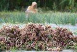 Tekan harga tinggi, Pemkab Agam tanam Bawang Merah di lahan seluas 35 hektare