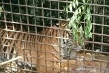 Harimau sumatera ditranslokasi ke Lampung masih dipantau untuk rehabilitasi
