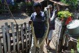 Warga menangkap ular piton/Pythoniadae atau sanca kembang (Malayopython reticulatus) di pemukiman warga Desa Sumberkolak, Panarukan, Situbondo, Jawa Timur, Selasa (21/1/2020). Warga Desa Sumberkolak mengamankan dua ekor ular piton dengan panjang 3,25 cm dan 60 cm di pemukiman warga. Antara Jatim/Seno/zk