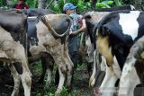 Disnakan Boyolali vaksinasi hewan ternak cegah antrax