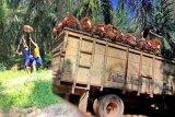 Harga TBS di  Sumatera Selatan tembus Rp2.022/kg