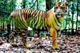 Harimau muncul di proyek tol Pekanbaru-Dumai, ini yang dilakukan para pekerja