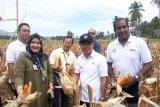 Bupati : Petani Sigi perlu perubahan paradigma dalam kegiatan bercocok tanam
