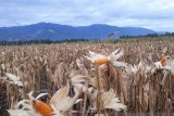 Panen jagung sebagai simbol pemulihan ekonomi petani di Sigi
