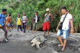 Dua ekor penyu hijau berhasil diselamatkan nelayan Flores Timur