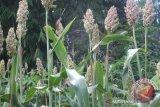 Di Sultra, petani kembangkan tanaman sela sorgum