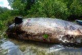 Seekor paus berukuran 20 meter terdampar di hutan mangrove