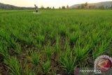 Di Bombana, intensitas hujan kurang, petani tunda penanaman padi