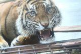 Dokter masih pantau kesehatan harimau ditranslokasi dari Sumsel