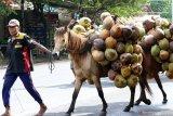 Warga menuntun kuda yang dijadikan angkutan kelapa di Kabat, Banyuwangi, Jawa Timur, Senin (27/1/2020). Kuda tersebut menjadi alat transportasi angkutan dari kebun kelapa yang tidak dapat dijangkau kendaraan. Antara Jatim/Budi Candra Setya/zk.