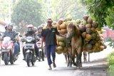 Warga menuntun kuda yang dijadikan angkutan kelapa di jalan raya Kabat, Banyuwangi, Jawa Timur, Senin (27/1/2020). Kuda tersebut menjadi alat transportasi angkutan dari kebun kelapa yang tidak dapat dijangkau kendaraan. Antara Jatim/Budi Candra Setya/zk.