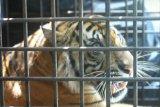 Dokter TWNC sebut kondisi harimau translokasi semakin baik setiap harinya
