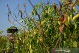 Buruh tani memetik tanaman cabai yang mulai membusuk di Desa Segunung, Kecamatan Kesamben, Jombang, Jawa Timur, Selasa (28/1/2020). Kondisi cuaca yang tidak stabil membuat tanaman cabai rawit di sentra pertanian cabai setempat banyak diserang penyakit patek dan busuk batang, akibat serangan hama yang disebabkan oleh jamur ini tanaman menjadi kering sehingga petani memilih panen lebih awal untuk mengurangi kerugian. Antara Jatim/Syaiful Arif/zk