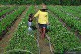 Petani menyiram bibit cabai rawit siap tanam di Desa Penaguan, Pamekasan, Jawa Timur, Selasa (28/1/2020). Menjelang musim tanam harga bibit cabai rawit naik dari Rp30 ribu menjadi Rp50 ribu per 1.000 batang, karena tingginya permintaan. Antara Jatim/Saiful Bahri/zk