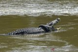 BKSDA's contest to remove tyre lodged around wild crocodile's neck