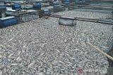 Sekitar 10 ton ikan siap panen di Danau Maninjau mati massal akibat hujan deras