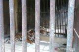Sepasang harimau Sumatera lahir di Sumbar