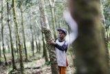 Penyakit gugur  daun karet di Sumatera Selatan mulai terkendali