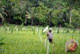 Petani OKU mulai masuk musim tanam padi