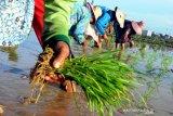 MEMASUKI MUSIM TANAM PADI. Pekerja menanam padi di Kelurahan Barurambat Timur, Pamekasan, Jawa Timur, Senin (6/1/20). Petani di Pamekasan mulai menanam padi karena sebagian besar lahan di kabupaten itu merupakan sawah tadah hujan.  Antara Jatim/zk