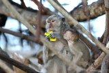 PERUBAHAN PERILAKU KERA EKOR PANJANG. Kera ekor panjang (macaca fascicularis) memakan sampah kemasan yang dibuang pengunjung di Taman Nasional Baluran, Situbondo, Jawa Timur, Sabtu (25/1/2020). Petugas TN Baluran menyatakan, kebiasaan wisatawan  memberi makan kera ekor panjang mengubah perilakunya semakin agresif dan membuat ketergantungan makanan. Antara Jatim/Budi Candra Setya/zk