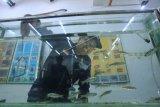 Dosen UGM kembangkan teknologi untuk mempercepat produksi ikan wader pari