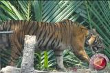 Gubernur Sumsel minta konflik dengan harimau  tidak terulang