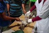 Leopard mati di Kebun Binatang Kasang Kulim