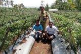Luas tanam 800 hektare, produksi cabai di Banjarnegara melimpah