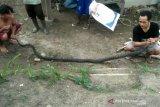 Berbekal belajar dari nonton video, warga tangkap king kobra sepanjang 3 meter