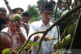 Petani Temanggung panen perdana buah alpukat