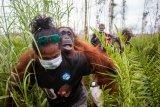 BKSDA- IAR Indonesia selamatkan dua orang utan dari akibat karhutla