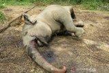 Gajah sumatera mati di konsesi hutan tanaman industri di Riau, begini kronologinya