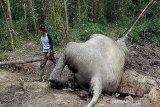 BBKSDA Riau kirim tim untuk selidiki gajah mati di Bengkalis