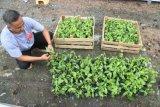 Potensi Budidaya Tanaman Vanili di Aceh
