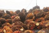 Virus corona masih pengaruhi turunnya harga sawit Riau