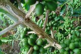 Kopi Senaru Lombok tembus ke mancanegara