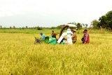 Pengembangan pertanian di Sukamara temui kendala