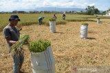 Sejumlah petani memotong tanaman padi puso atau gagal panen terdampak kemarau di Desa Cot Cut, Kecamatan Kuta Baro, Kabupaten Aceh Besar, Aceh, Rabu (12/2/2020). Sekitar 2.400 hektare tanaman padi di daerah itu mengalami puso akibat kemarau panjang dan beberapa hektare di antaranya terpaksa dipotong kemudian dijual untuk makanan ternak sapi dengan harga Rp25.000 hingga 35.000 per karung guna menutupi kerugian. Antara Aceh/Ampelsa.