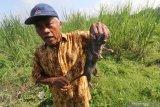 Petani di Minggir Sleman berburu hama tikus