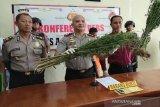 Polres Abdya tangkap penanam dan pemilik kebun ganja di Aceh barat