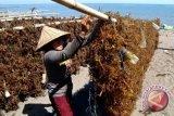 Produksi rumput laut  Parigi Moutong capai 13 ribu ton pada 2019