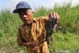 Serangan hama tikus di Flores Timur semakin meluas