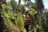 Bunga bangkai setinggi 2,5 meter ditemukan di Koto Rantang Kabupaten Agam