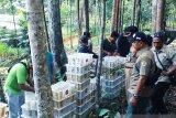Gakkum LHK lepas 1.600 burung gelatik dan ciblek