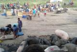 Pemkab Jayawijaya minta ternak babi dipelihara secara sehat